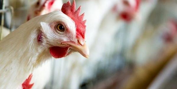 شیوع آنفلوانزای مرغی H5N6 در چین